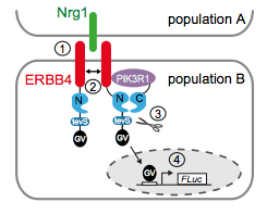 Spironolactone is an antagonist of NRG1‐ERBB4